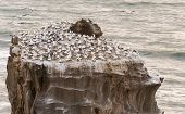 picture of gannet  - The Gannet colony at Muriwai in New Zealand - JPG