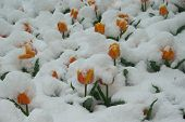 Red Tulips Are In The Snow