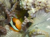 Two-band anemonefish (Amphiprion bicinctus)