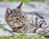 Grey striped cat