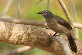 Brown Babbler Perched In A Tree