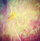 a yellow goldfinch on a branch done with a retro vintage instagram filter