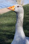 Orange Beaked Goose Head