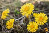 Coltsfoot Medical First Flower On Spring