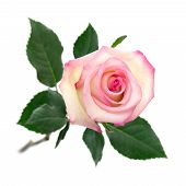 Open Pink Rose On White