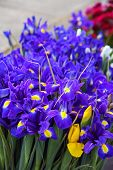stock photo of purple iris  - A large bunch of purple and yellow irises - JPG