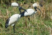 Sacred Ibis Standing In A Grassy Field