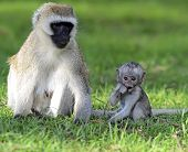 pic of omnivore  - Vervet monkey  - JPG