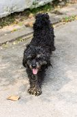Black Shaggy Dog Poodle Mongrel