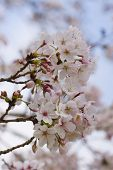 Cherry Blossom Flowers