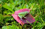 Gray Tree Frog On Red Leaf - Side
