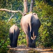 Wild Elephant Rears