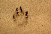 Paw Print In Sand