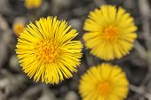 Tussilago Farfara Or Coltsfoot From Above