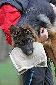 German Shepherd Dog Puppy Training.