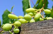 Close-up Of Ripening Grapes