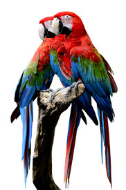 stock photo of green-winged macaw  - Red-and-Green Macaw Parrot bird green-winged macaw bird sitting on the log together isolated on white background ** Note: Visible grain at 100%, best at smaller sizes - JPG