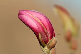 pic of japanese magnolia  - magnolia beautiful flower emerging bud over out of focus background - JPG