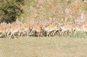 Herd of Fallow Deer (Dama dama)