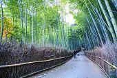Kyoto, Japan - Green Bamboo Grove In Arashiyama
