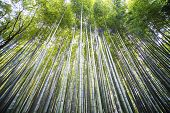 Kyoto, Japan - Green Bamboo Grove In Arashiyama