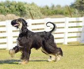 pic of hound dog  - A profile view of a healthy beautiful grizzle black and tan Afghan Hound walking on the grass looking happy and cheerful - JPG