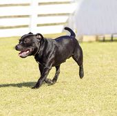 foto of american staffordshire terrier  - A small young beautiful black Staffordshire Bull Terrier walking on the grass looking playful and cheerful. English Staff dogs are medium sized stocky and very muscular dogs similar to american pitbulls.
