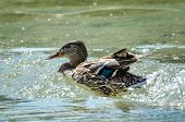 Duck Is Swimming