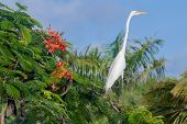 White Egret, Dominican Republic