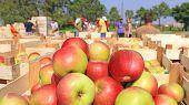 Cart Full Of Apples