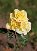 photo beautiful yellow roses