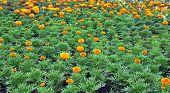 Lot Of Bright Orange Marigold Flowers