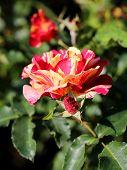 photo beautiful unusual rose