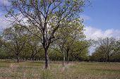 A Texan Grove
