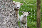 Sheep Lamb
