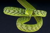 Asian vine snake / Ahaetulla prasina