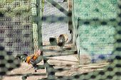 foto of avian flu  - Chicken in a cage under the bright autumn sun - JPG