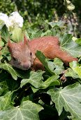 image of youg  - A youg squirrel sittin between some leaves - JPG