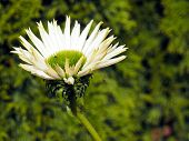 White and green coneflower