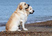 Labradors At The Sea