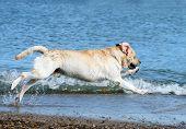 A Labrador Swimming In The Sea