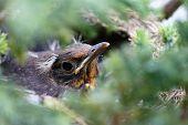 Beautiful Head Of A Blackbird Seen Through Blurred Branches
