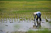 Viet Nam farmer working on the paddy field rice ,they are planting new rice crop in Southern Viet Na