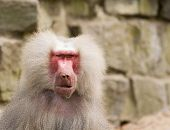 picture of scars  - A portrait of a scarred male hamadryas baboon - JPG