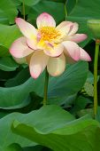 Lotus With Raindrops