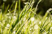 Background Of Fresh Green Grass With Dewdrops