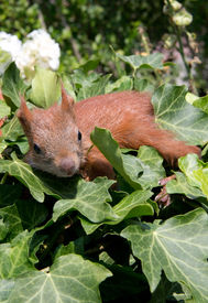 picture of youg  - A youg squirrel sittin between some leaves - JPG