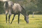 Single horse grazing