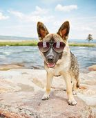 a cute german shepherd by a river or lake with sunglasses on