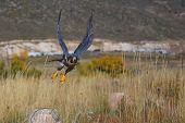 stock photo of falcons  - Peregrine falcon  - JPG